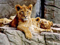 lion cubs - all-about-lions photo