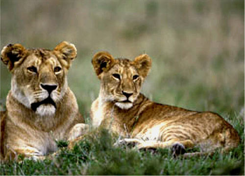 সিংহী with her cub