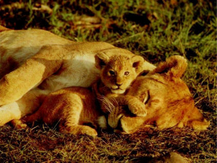львица with her cub