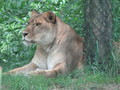 mama lioness - all-about-lions photo
