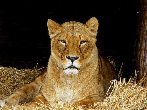 mama sư tử cái, lioness