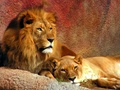 mama & papa lion - all-about-lions photo