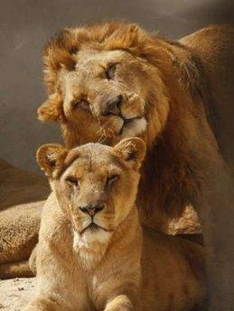 mama & papa lion