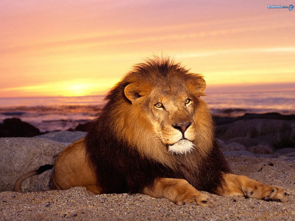 all about lions images the male lion hd wallpaper and background