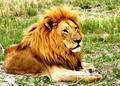 the male lion