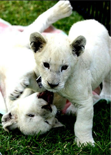 white lion cubs playing