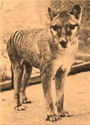 Young Thylacine