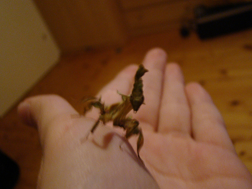 kirby my ghost mantis <3