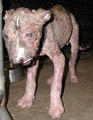 sORRY FOR THE NASTY PICTURES BUT YOU NEED TO SEE WHAT PEOPLE DO TO ANIMALS! - against-animal-cruelty photo