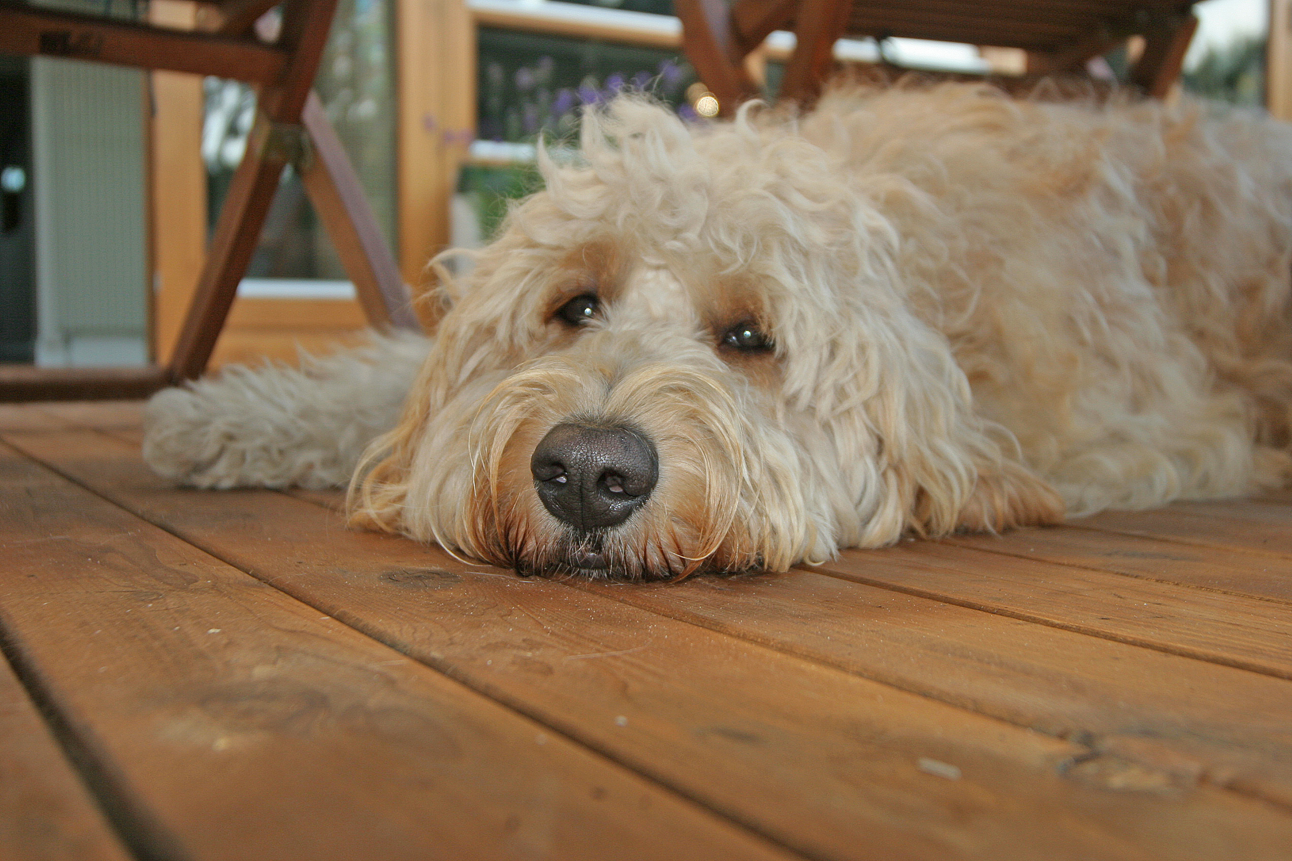 Goldendoodle Information And Facts | Dog Breeds Picture