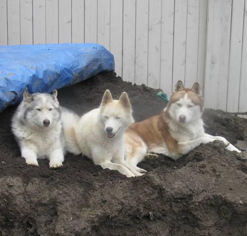 Siberian Huskies wallpaper titled Cooling off
