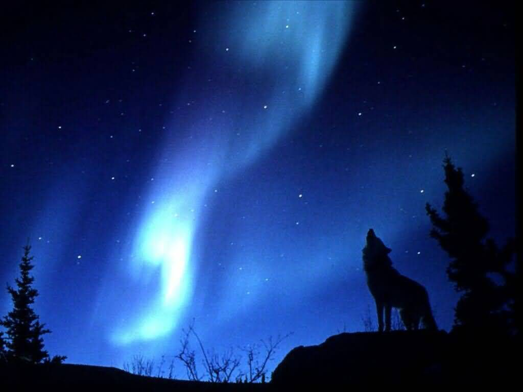 Wolves evening howl