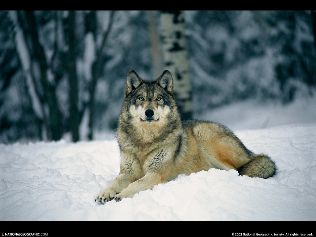 Excellent Animal Gray Wolf 1024 x 768 · 163 kB · jpeg