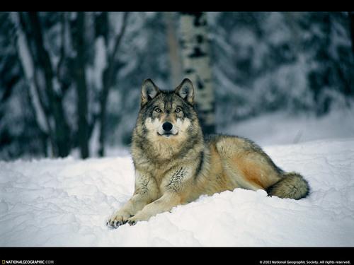 serigala wallpaper
