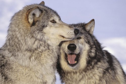 Alaskan Wolves Playing