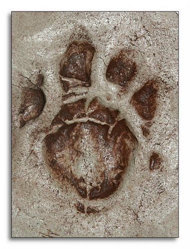 Cast of Footprint, Thylacine