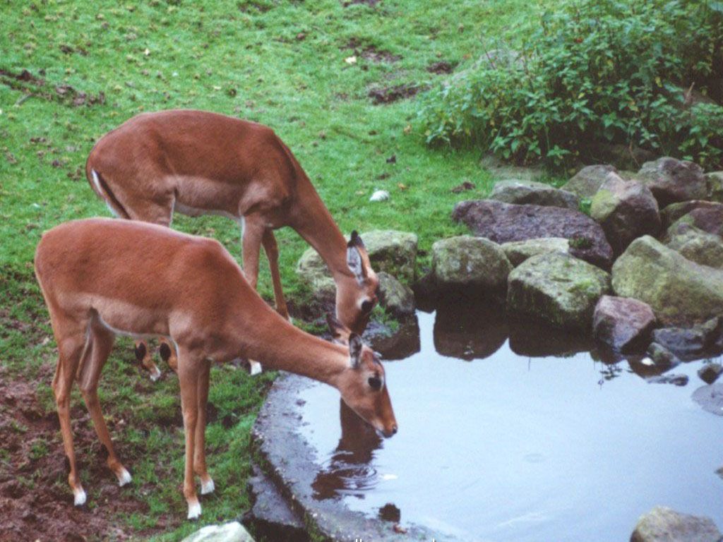 Taking A Drink - Deer Wallpaper (8118058) - Fanpop fanclubs