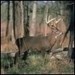 Deep In The Woods - deer icon