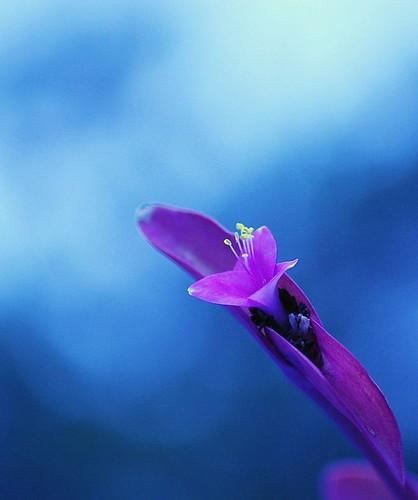 Purple پھول