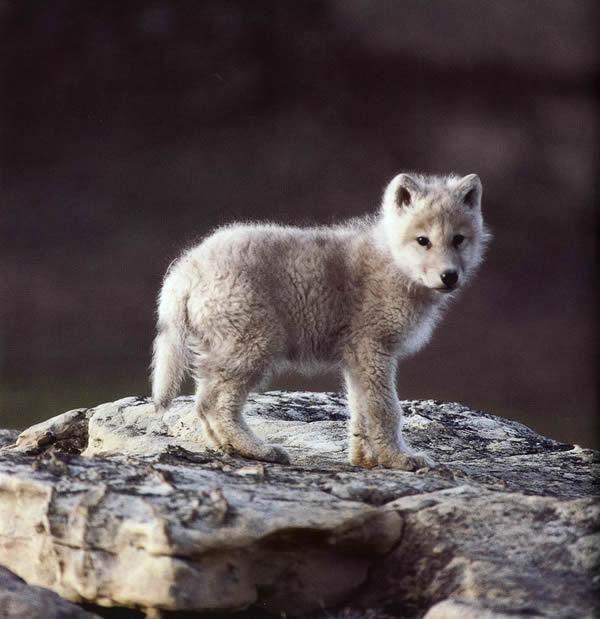 Wolves wolves
