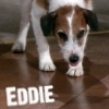 Frasier photo probably with a smooth haired fox terrier titled Eddie