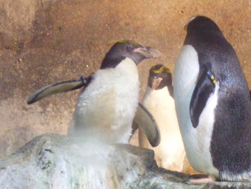 Penguins at the Pittsburgh Zoo