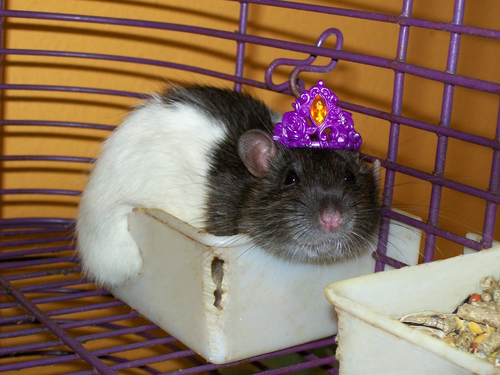 Royal con chuột