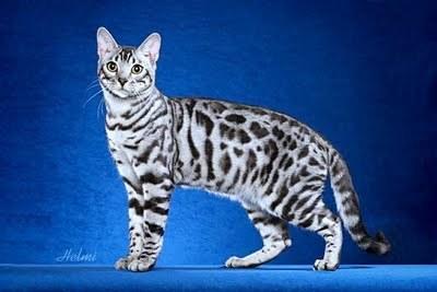 Silver leopardstar