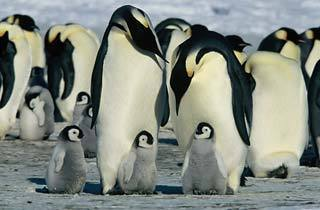 Emperor penguins and their chicks