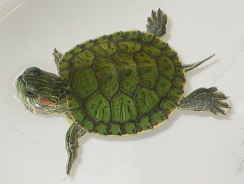 Turtle VS. Tortoise Poll Results - Turtles and Tortoise - Fanpop