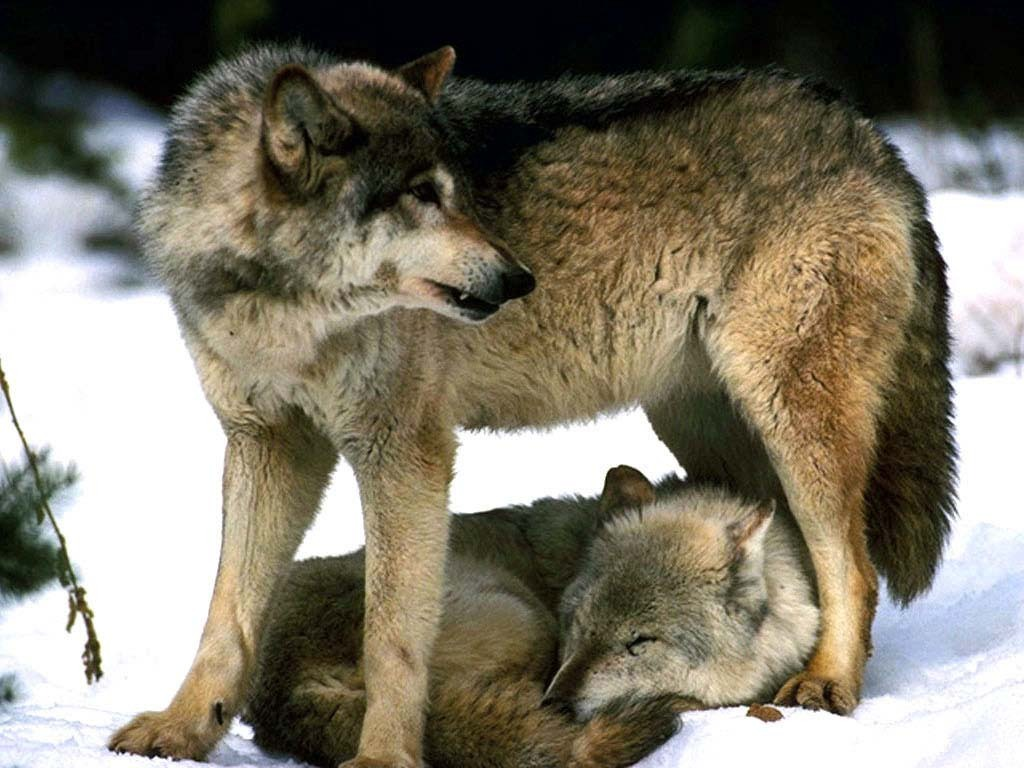 Wolves which one of these grey wolf images is your favourite