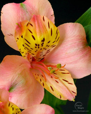 What does the flower Alstroemeria mean?