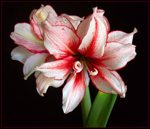 What does the Amaryllis blume mean?
