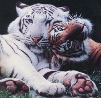 What is the noise that tigers make when they meet and greet each other called?