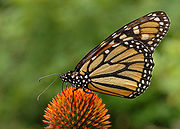 The monarch butterfly In North America migrates from Alberta Canada to ______, México
