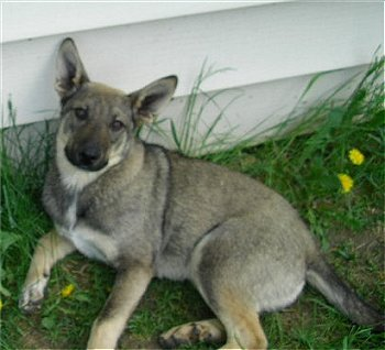 What type of animal is a coydog?