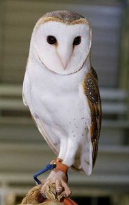 What kind of owl is Jareth?
