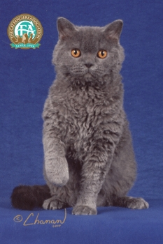 Which of the following is NOT an actual cat breed?