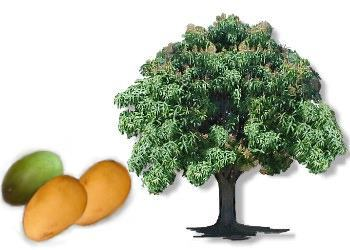 Mango trees can reach how high in height?