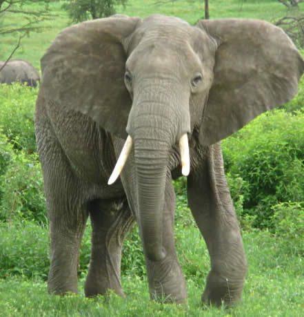 An elephant's hearing is so good they can hear the footsteps of a ________.