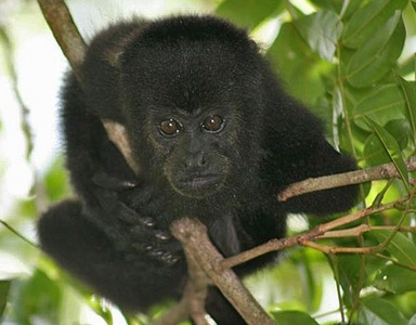 A howler monkey&#39;s call can be heard __ miles away.