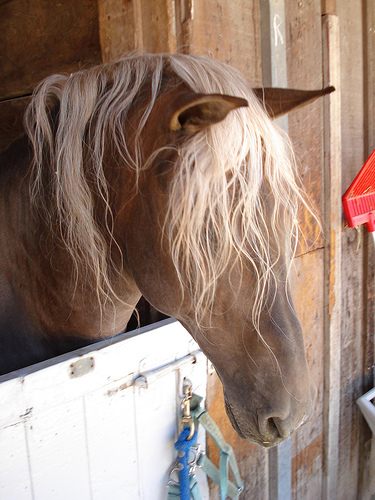 What's the bunch of hair called on a horse that comes right over the horse's head between it's ears?