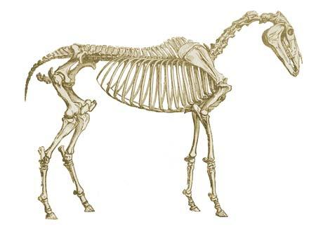 Horses have a skeleton that averages ___ bones.