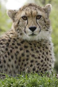 True or False: A cheetah's claws are only semiretractable.