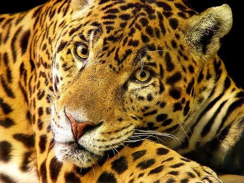 How does a jaguar kill it's prey???