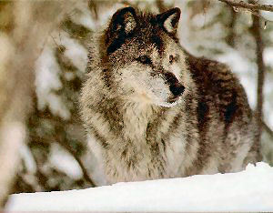 The Newfoundland Wolf is extinct.