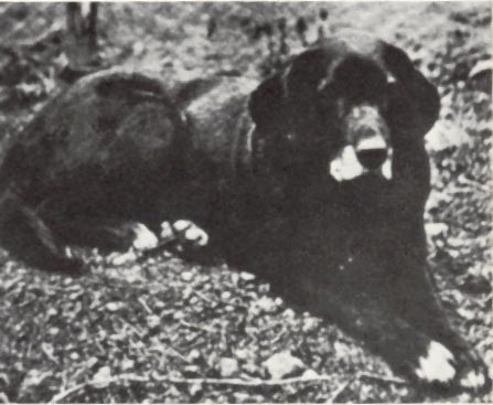 The St. John's Water Dog is the ancestor of the Newfoundland breed and modern day. . .?