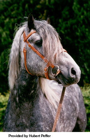 Name this Breed of Horse