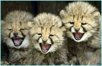 can cheetahs roar?