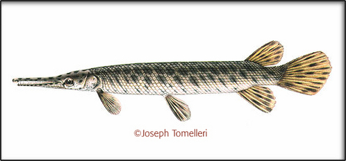 Whats the Scientific name for The Spotted Gar?